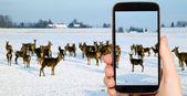 Man is taking photo of animals — Stock Photo