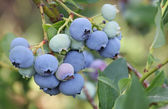 Blueberries on a branch — Stock Photo