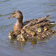 Duck with ducklings in the water — Stock Photo