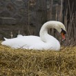 Swan in nest — Stock Photo