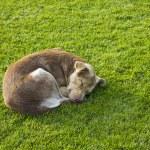 Sleeping Dog — Stock Photo #32868167