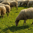 Sheeps browsing on green grass — Stock Photo