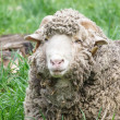 Portrait of an old ram sheep — Stock Photo