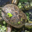Stock Photo: Turtle basking in sunlight on lake shore