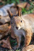 Close up view of European red squirrel — Stock Photo