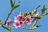 Branches with peach flowers bloom against the blue sky — Zdjęcie stockowe