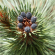 Stock Photo: Pine cones