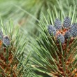 Pine cones — Stock Photo #12084482