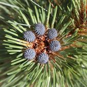 Cones do pinho — Foto Stock