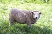 Sheep — Stock Photo