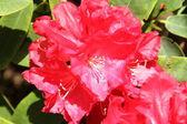 Rododendro florescendo — Fotografia Stock