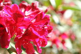 Rhododendron blooming — Stockfoto