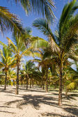 Coconut plantation — Stock Photo
