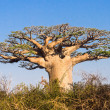 Stock Photo: Baobab tree, Madagascar