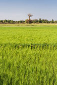 Baobab and rice field — Stock Photo