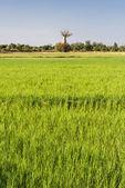 Campo di baobab e riso — Foto Stock