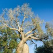 The lovely baobab - Stock Photo