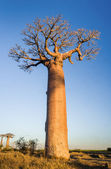 Sunset on baobab trees — Foto Stock