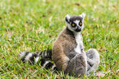 Lemur catta of Madagascar — Stock Photo