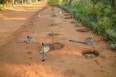Lemur catta of Madagascar — Stock Photo