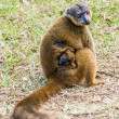 Brown lemur — Stock Photo #35517985