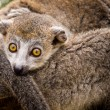 Crowned lemur — 图库照片