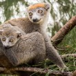 Stock Photo: Crowned lemur