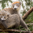 gekroonde lemur — Stockfoto