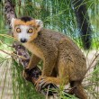 Crowned lemur — Stock fotografie