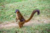 Brown lemur — Stock Photo