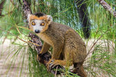 Crowned lemur — Stock Photo