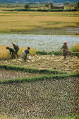 Farmers planting rice — Stock Photo