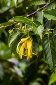 Ylang-Ylang — Stock Photo