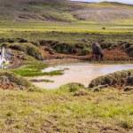 Wild horse - Iceland. — Stock Photo #15008489