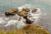 Puffin bird - Iceland — Foto Stock