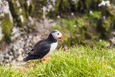 アイスランドの野生動物 — ストック写真
