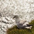 Stock Photo: Seagull bird - Latrabjarg Iceland.