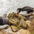 Stock Photo: Two puffins - Iceland, Latrabjarg.
