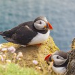 Puffins family - Latrabjarg, Iceland. — Stock Photo