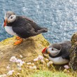 Stock Photo: Iceland, Latrabjarg cliffs - wildlife.