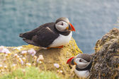 Puffins family - Latrabjarg, Iceland. — Photo