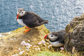 Iceland, Latrabjarg cliffs - wildlife. — Стоковое фото