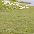 White geese on green grass - Ukraine, Ostroh. — Stock Photo #21338751