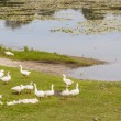 White geese on coast of small lake in Ostroh - Ukraine. — Stock Photo