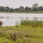 Brown horse on coast of lake - Ostroh, Ukraine. — Stock Photo