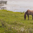 Brown horse on coast of lake - Ostroh, Ukraine. — Stock Photo