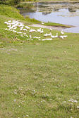 White geese on green grass - Ukraine, Ostroh. — Stock Photo