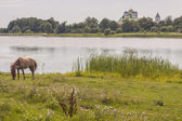 Brown horse on coast of lake - Ostroh, Ukraine. — Foto de Stock