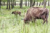Bialowieski National Park - Poland. Aurochs head. — Stock Photo
