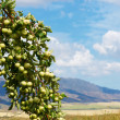 Green wild apples — Stock Photo